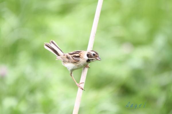 コジュリン幼鳥(3643)