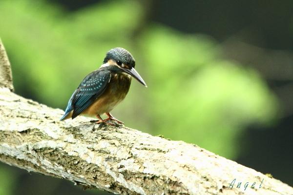 カワセミ幼鳥(3760)