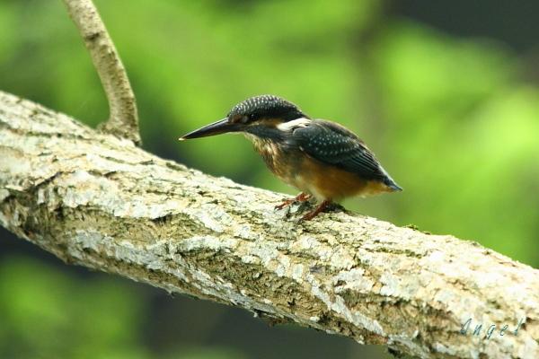 カワセミ幼鳥(3761)