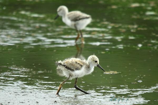セイタカシギ幼鳥(3908)