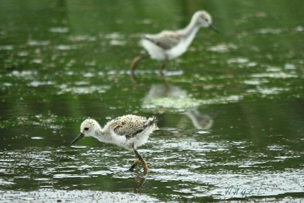セイタカシギ幼鳥(3936)