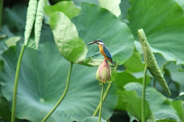 蓮カワセミ♂(4495)