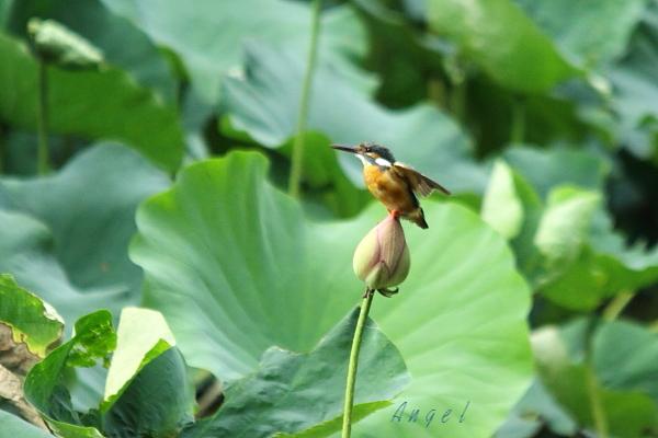 蓮カワセミ♀(4505)