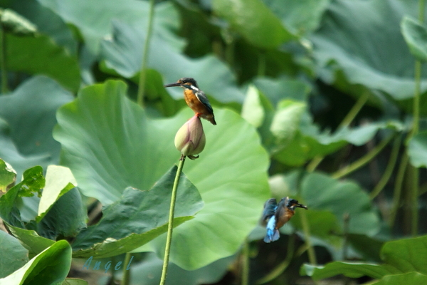 蓮カワセミ♀(4508)