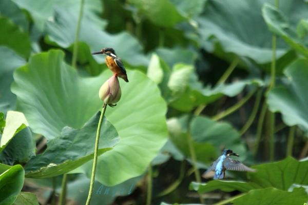 蓮カワセミ♀(4509)