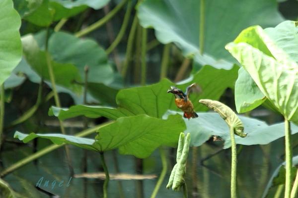 蓮カワセミ♂(4510)