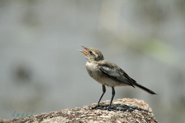 ハクセキレイ幼鳥(4651)