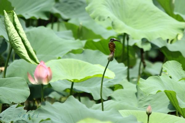 蓮カワセミ(5201)
