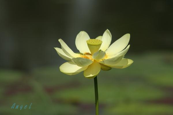 黄色蓮(4400)