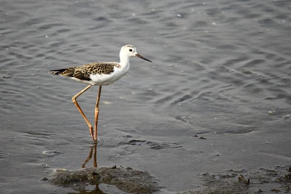 セイタカシギ幼鳥(5105)