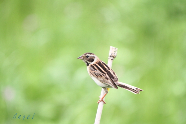 コジュリン幼鳥(3655)