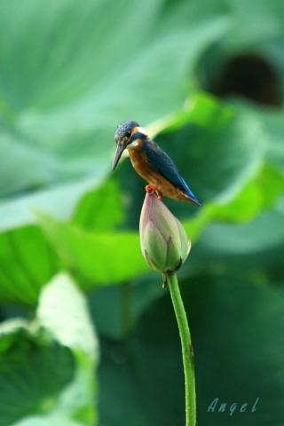 蓮カワセミ♂(4542)①
