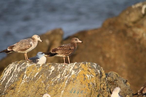 ウミネコ幼鳥(7791)