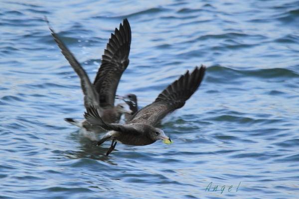 ウミネコ幼鳥(79)