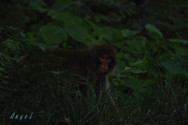 猿(6075)