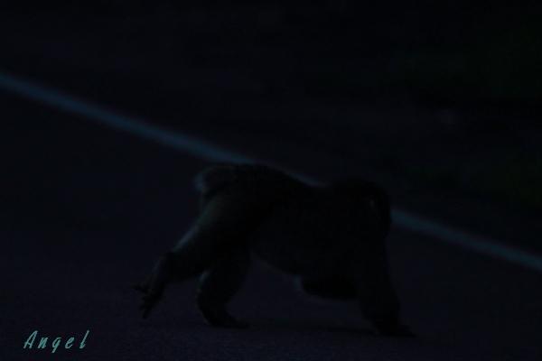 猿(6086)