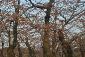 函館市函館公園の桜
