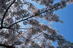北海道伊達市気門別川沿い桜