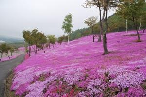 滝上町滝上公園の芝桜