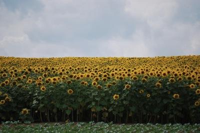名寄市郊外のひまわり畑