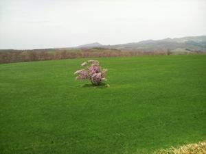 室蘭市一本桜