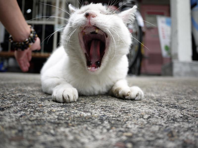 大口欠伸ネコ