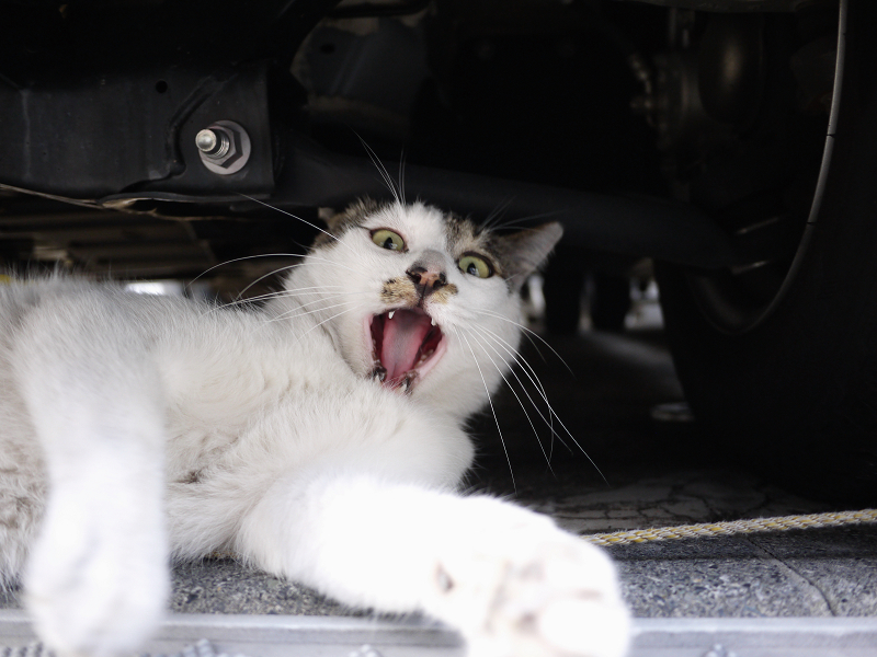 車の下で欠伸するネコ