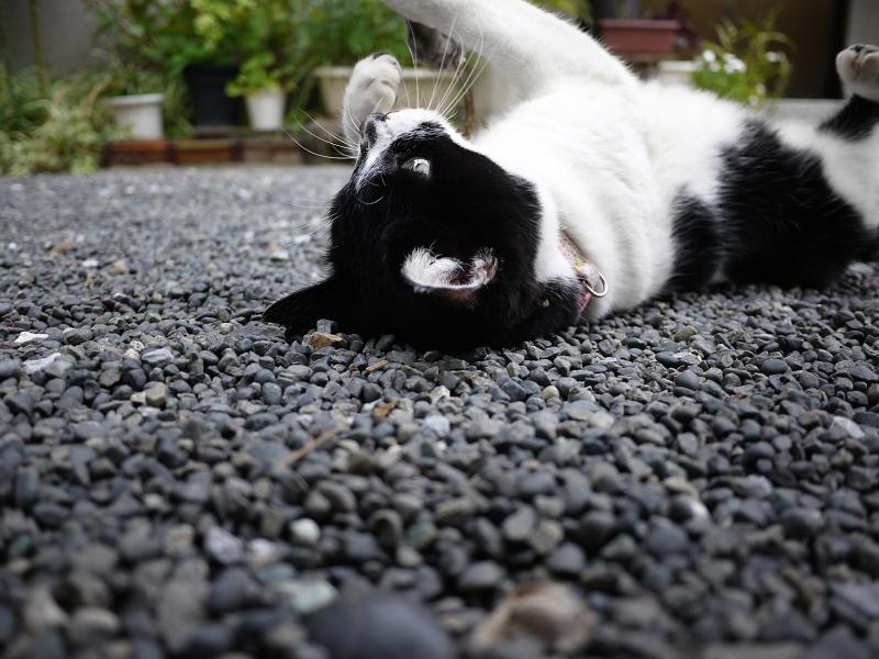 玉砂利で仰向けネコ