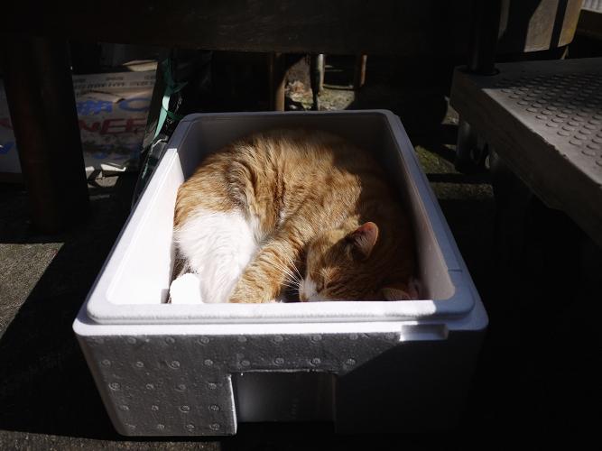 発泡スチロールの中で寝てるネコ