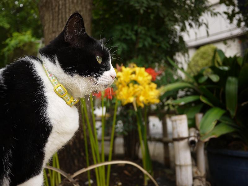 彼岸花と黒白ネコ