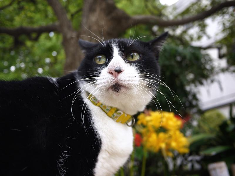 黄色い彼岸花と黒白ネコ