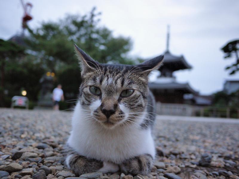 玉砂利で不愉快顔のネコ