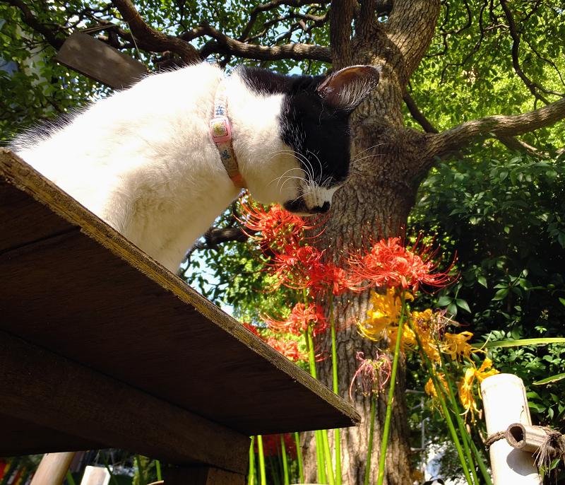 ベンチと彼岸花とネコ