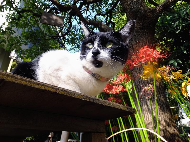 ベンチの彼岸花ネコ