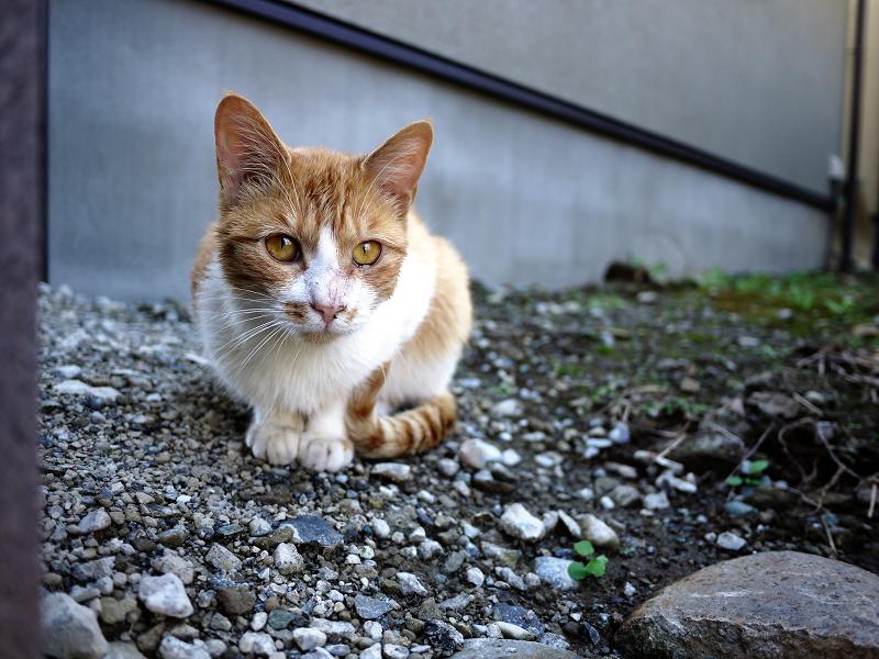 民家の庭先にいたネコ2