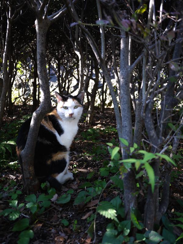 茂みの中の三毛猫1