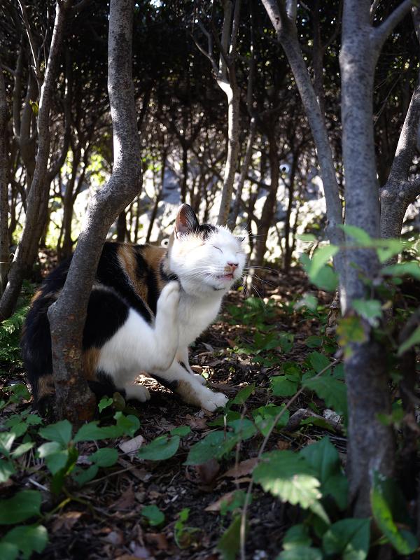 茂みの中の三毛猫2