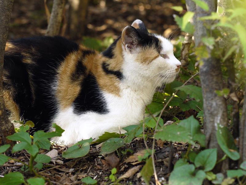 オールドレンズで茂みのネコを