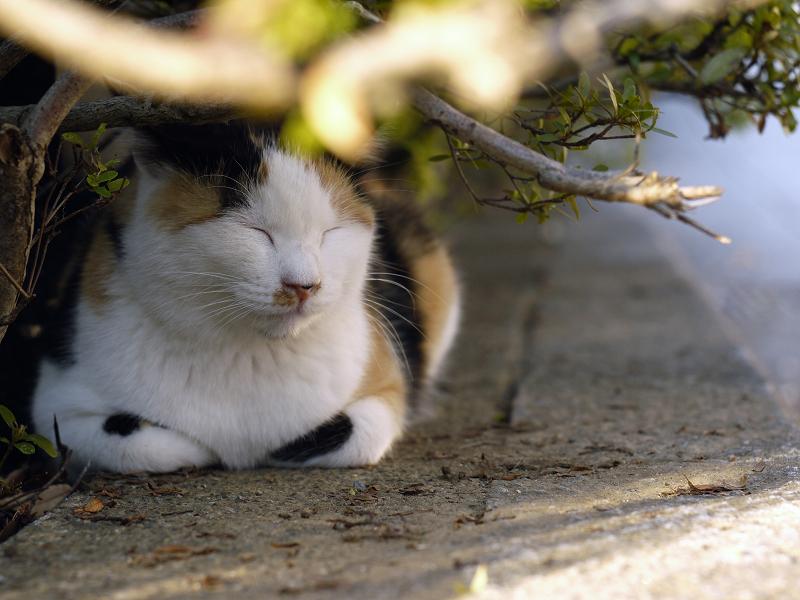 茂みの三毛猫1