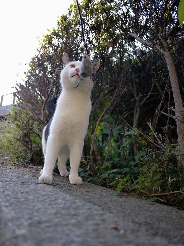 ネズミと遊ぶ黒白猫1