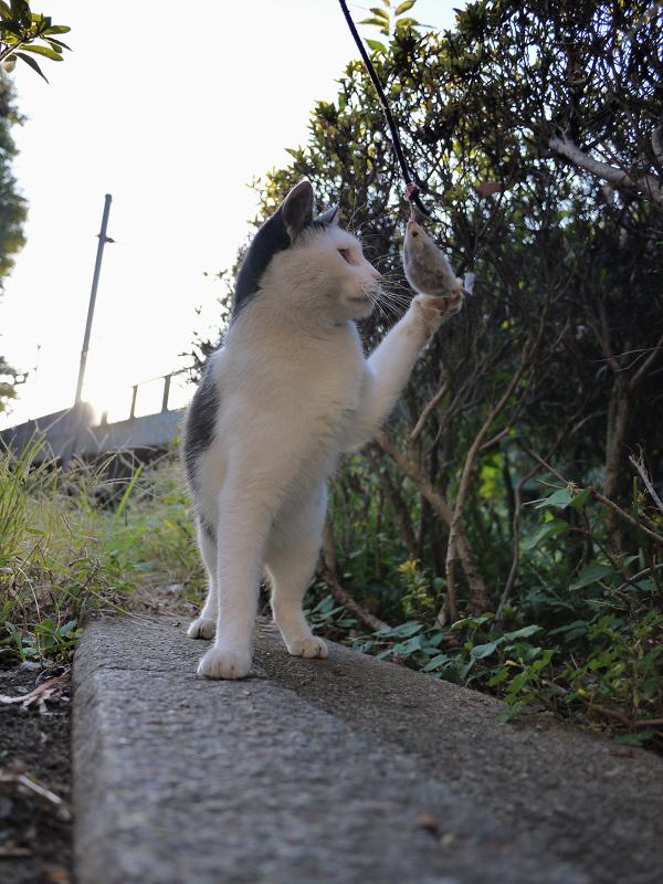 ネズミと遊ぶ黒白猫2
