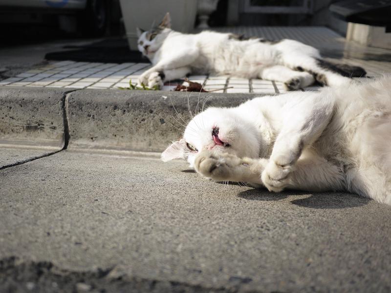 寝転がりベロを出すネコ3