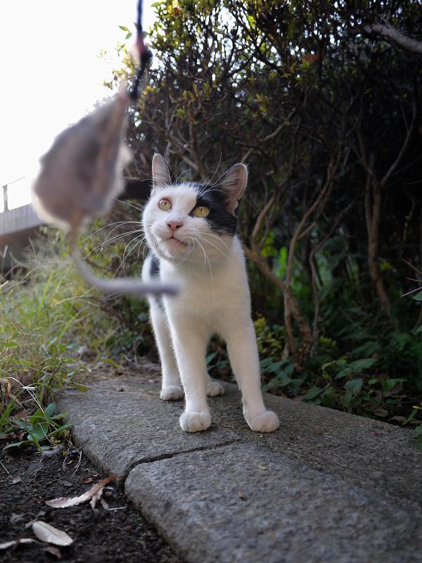 ネズミと遊ぶ黒白猫4