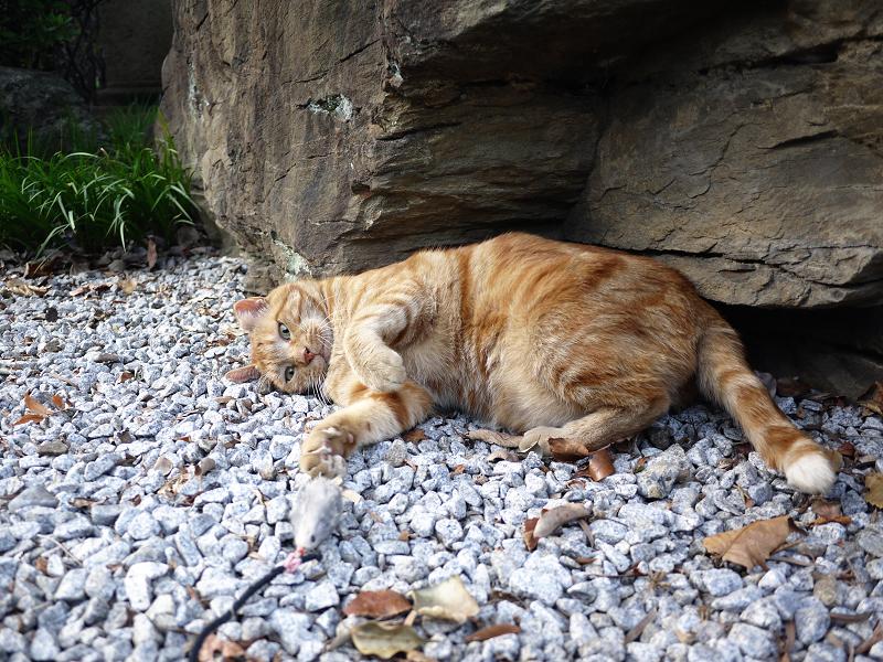 岩場でネズミで遊ぶ猫