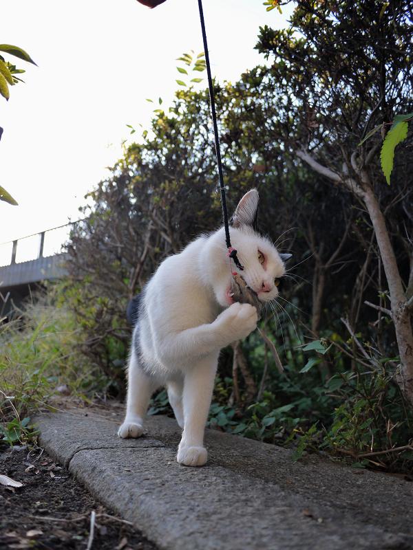 ネズミと遊ぶ黒白猫5