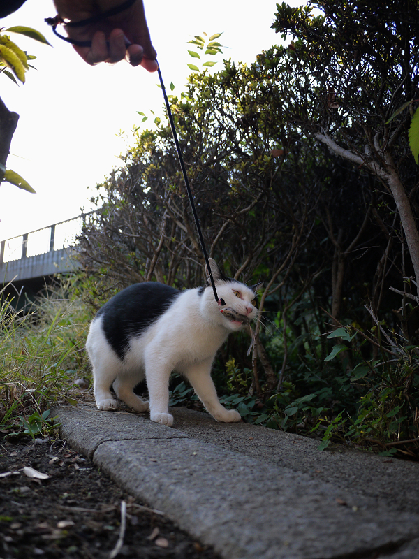 ネズミと遊ぶ黒白猫6