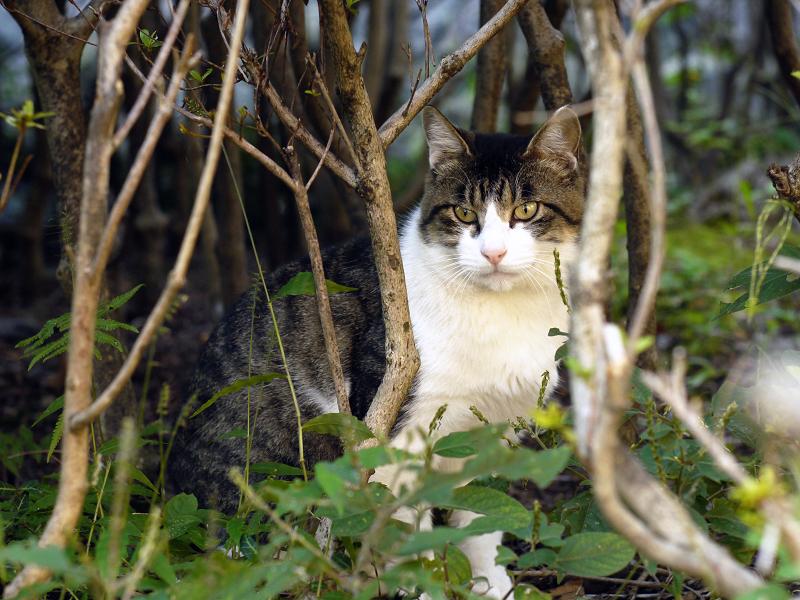 茂みの中のキジ白猫