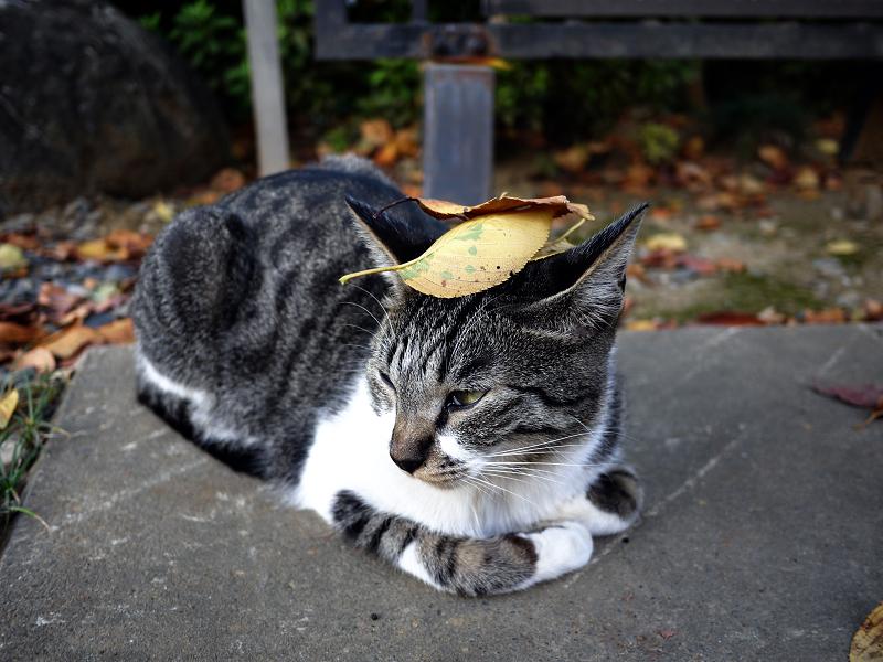 頭に落ち葉を乗せられたネコ