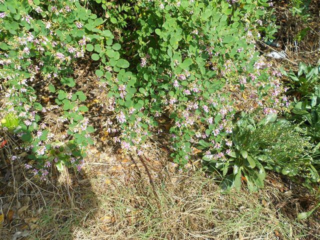 香椎沿岸のハギの花