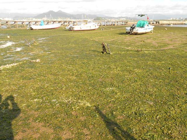 雁ノ巣海岸のアオサ